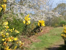 Blossoming Ulex (commonly Known As Gorse, Furze Or Whin). A Genus Of Flowering Plants In The Family Fabaceae.