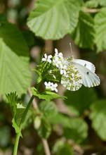 Female Orange-tip Butterfly (A...