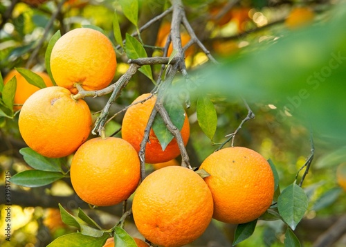 Low angle shot of beautiful delicious oranges on the tree in a garden