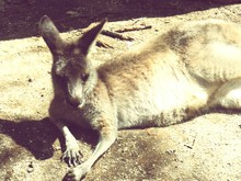 Kangaroo Relaxing On Field