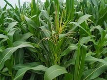 Corn Flower Tassel Sway In The Late Summer Breeze. Green Corn Field
