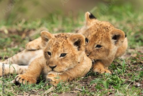 Cuadros en Lienzo Lion cubs playing, Masai Mara