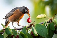 American Robin Feeding In A Cherry Tree.