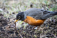 American Robin Foraging For Insects And Worms In The Grass