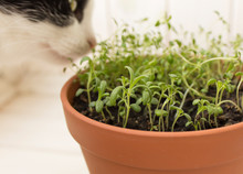 Young Rosemary In A Terracotta Pot.  Black And White Cat Sniffs The Herbs In A Pot