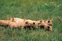 Porc, Cochon, Truie, Porcelet,...