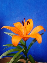 Orange Lily Blooming Against Blue Wall