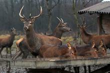 Deer And Roe Deer Feeding On Supplemental Food In A Manger
