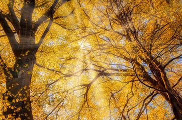 Panel Szklany Podświetlane Drzewa yellow autumn leaves