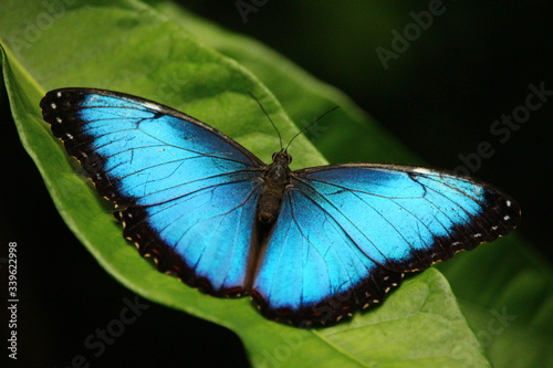 Fototapeta High Angle View Of Blue Morpho Butterfly On Plant