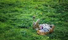 Jaguar On The Grass