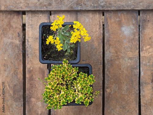Alpine spring bedding plants - Alyssum saxatile var Wallpaper Mural