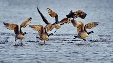 Canadian Gooses Flying Over Sea