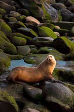 A Female Sea Lion Sitting On R...