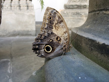 Beautiful Giant Owl Butterfly (Caligo Eurilochus) In The Environment Of The Old Town.