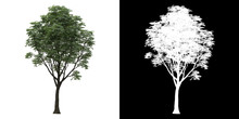 Left View Of Tree (Tilia) Png ...