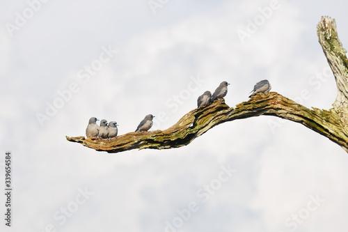 Photo Group of ashy woodswallows birds perched in a branch i Periyar lake in Periyar n