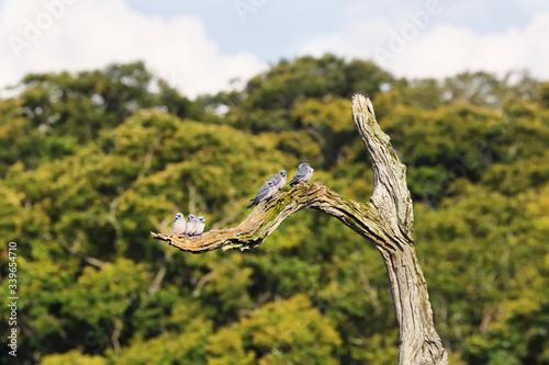 Group of ashy woodswallows birds perched in a branch i Periyar lake in Periyar n Canvas Print