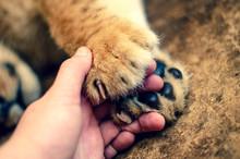 Lion Cub Paws A Mans Hand