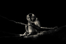 Monkey Relaxing On Branch At Night