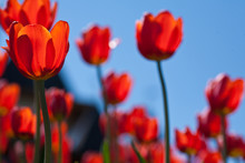 Bright Red Tulips On A Background Of Blue Sky