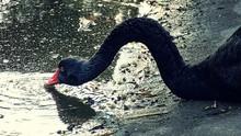 Black Swan Drinking Water