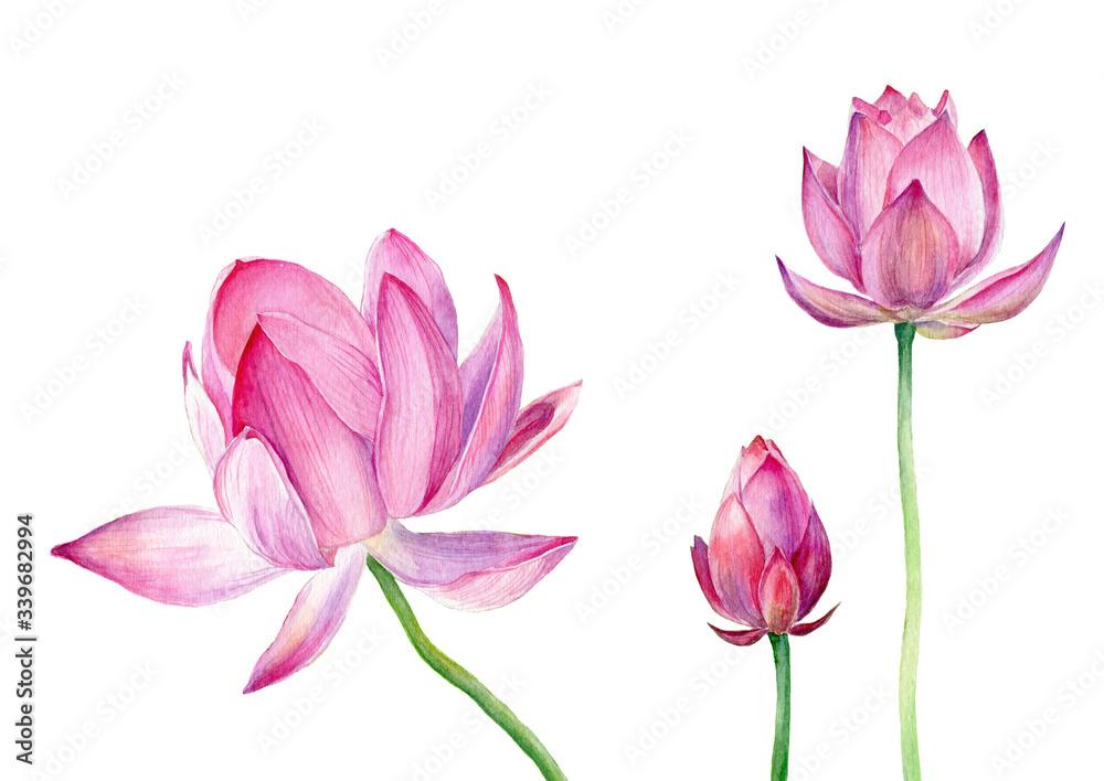 Fototapeta Hand drawn watercolor illustration Three pink Lotus