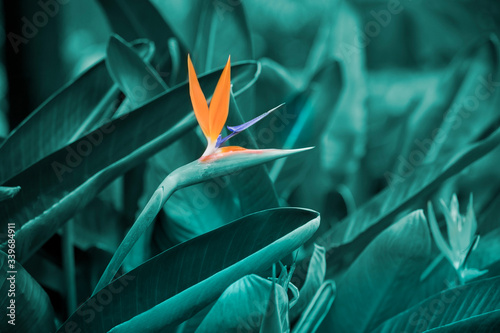 Foto Orange strelizia on background of green tropical leaves