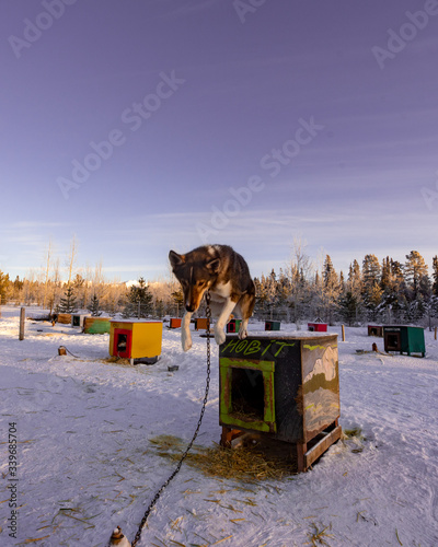 Dog sledding, mushing in Yukon Territory, northern Canada in the middle of winter Canvas Print