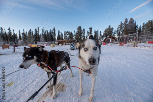 Dog sledding, mushing in Yukon Territory, northern Canada in the middle of winter Wallpaper Mural