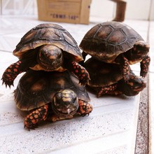 Stack Of Turtles On Table