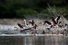 A Flock Of Lesser Flamingos Re...