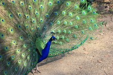 High Angle View Of Peacock With Fanned Out Feathers