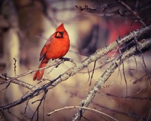 Northern Cardinal Perching On Bare Tree Branch