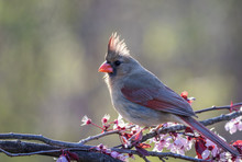 Northern Cardinal Female, Card...