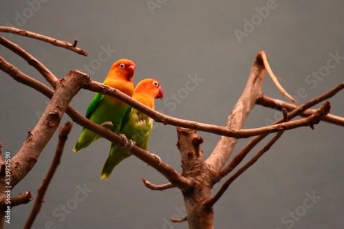 Obraz na plátně Close-up Of Parakeets Perching On Bare Tree