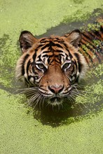 High Angle Portrait Of Tiger In Lake