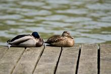Mallard Ducks Relaxing By Lake On Pier