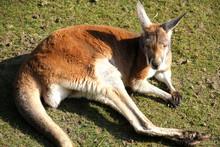 High Angle View Of Kangaroo Resting On Field