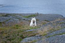 West Highland White Terrier Running On Rock
