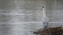 Great Blue Heron In River