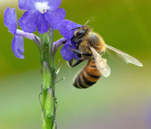 Honey Bee With Black And Gold Banded Abdomen Is Extracting Pollen From A Purple Flower Against A Blurred Green Background.