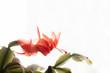 Czerwony kwiat w bieli.