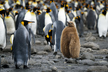 King Penguin Chick Among Adults