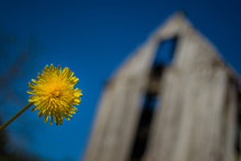 Close-up Of Yellow Flower Blooming Against Barn