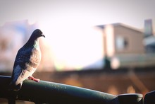 Pigeon Perching On Railing