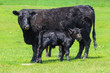 Leinwandbild Motiv Portrait Of Black Cow And Calf Standing On Field