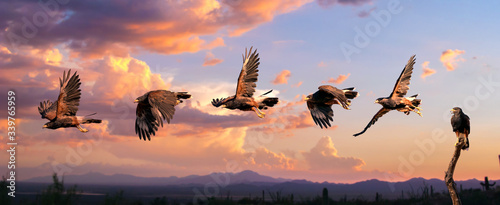 Photo Harris Hawk flying. Isolated hawk against blue sky
