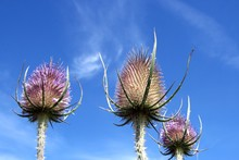 Close-up Of Thistles Against B...