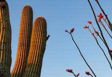 Saguaro Cactus In The Desert